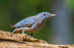 Roca-tordo azul, pájaro Imagen de archivo libre de regalías