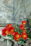 Roca y tulipanes Fotografía de archivo libre de regalías