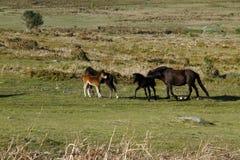 Rocas de Haytor y potros de Dartmoor Fotografía de archivo libre de regalías