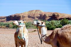 Rocas del en de los dromedarios en Marruecos, África foto de archivo