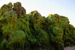 Rocas del Waterweed Foto de archivo libre de regalías