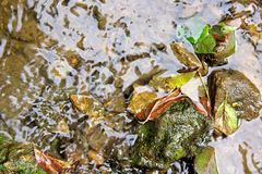 Rocas mojadas y hojas caidas en un río bajo Fotos de archivo libres de regalías