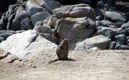 Rocas y ardilla en el área de la bahía de Monterrey que disfrutan de un mordisco imagenes de archivo