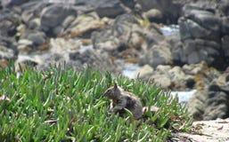 Rocas y ardilla en el área de la bahía de Monterrey que disfrutan del aire libre Foto de archivo