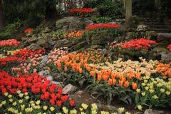 Rocas y tulipanes florecientes en el jardín de flores Keukenhof en primavera Fotos de archivo libres de regalías