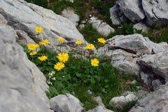 Rocce della natura, con i fiori gialli negli abbracci di pietra medi immagine stock libera da diritti