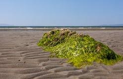 Roccia coperta alga Fotografie Stock
