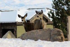 Roccia dei cervi muli immagine stock