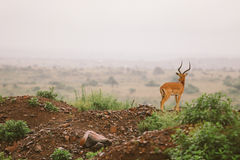 Roccia dell'impala Fotografia Stock Libera da Diritti