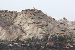 Roccia dell'uccello, Pebble Beach, un azionamento da 17 miglia, California, U.S.A. Immagine Stock Libera da Diritti