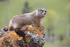 Roccia della marmotta che trascura valle alpina Immagine Stock