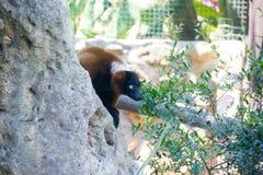 Roccia delle lemure Immagini Stock Libere da Diritti