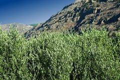 , Roccia e cielo blu di olivo Immagini Stock Libere da Diritti