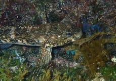 Roccia Goby immagini stock libere da diritti