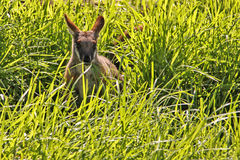 Roccia-Wallaby Giallo-Pagato in erba verde lunga Fotografie Stock Libere da Diritti