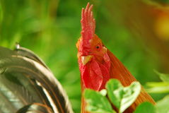 Roccioso il gallo immagini stock libere da diritti