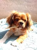 Rocco es mi perro Fotos de archivo