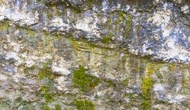 Rocha coberta com a textura das algas Fotos de Stock