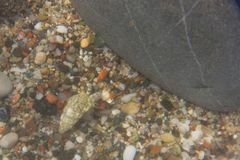 Rocha da praia do mar do eremita do caranguejo Imagem de Stock