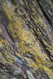 Rocha/penhasco com textura do fundo do líquene/sumário da natureza. Foto de Stock