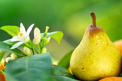 Rocha pear. Stock Images