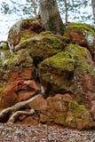 Rocha vermelha através de que as raizes da árvore brotaram Textura orgânica Kislovodsk, Rússia foto de stock