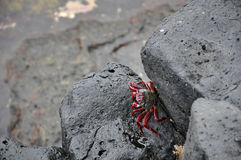 Rochas vulcânicas e caranguejo pretos Foto de Stock Royalty Free