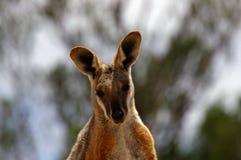 roche aux pieds proche vers le haut de jaune de wallaby Photos libres de droits