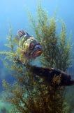 roche de cuivre de poissons Images libres de droits