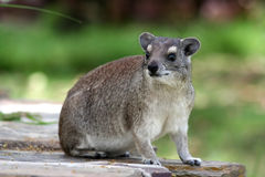 roche de hyrax Photos stock