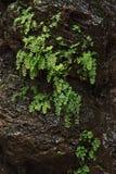 Roche humide noire couverte de plantes vertes Images libres de droits
