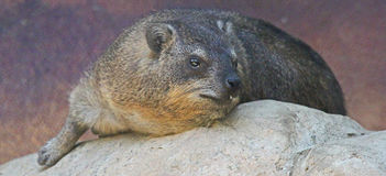 roche nommée latine de procavia de hyrax de capensis Photos libres de droits