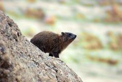 roche nommée latine de procavia de hyrax de capensis Images libres de droits