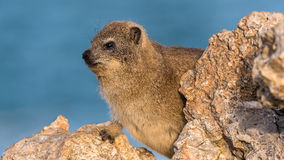 roche nommée latine de procavia de hyrax de capensis images stock