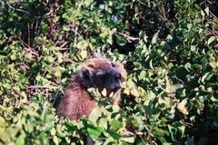 roche nommée latine de procavia de hyrax de capensis Photos stock