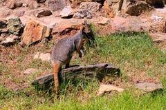 Roche-Wallaby Jaune-Aux pieds - xanthopus de Petrogale Photos libres de droits