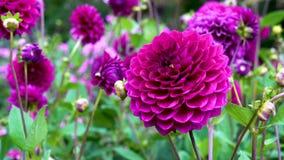 Roches de floraison de dahlia de violette du vent Beau fond brouillé des dahlias de fleurs clips vidéos