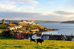 Roches Point. Cattle grazing in field, near Roches Point Lighthouse, Co.Cork, Ireland Royalty Free Stock Image