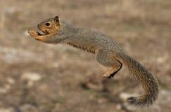 Rochoso o esquilo de vôo:) Fotos de Stock Royalty Free