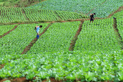 Rociador no identificado del granjero su campo de la col, Petchabun, Tailandia Foto de archivo