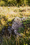 Rock. Lonely rock on the meadow overgown with moss and lichen royalty free stock photography