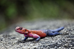 Rock agama Stock Photo