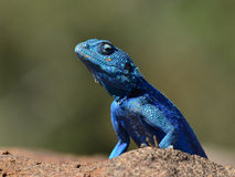 Rock agama Royalty Free Stock Photos