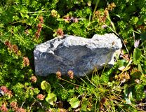 Rock Among the Green Groundcover. Rock amongst the foliage that is growing on the ground in Chugach National Forest along a hiking trail royalty free stock photography