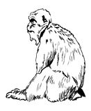 Rock Ape - Barbary Ape from Gibraltar. Rock of Gibraltar Ape - Illustration of the Rock of Gibraltar ape sitting looking ahead. The MAcaque, also known as the Stock Photography