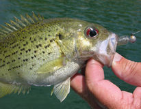 Rock bass. Caught in Ozark stream Royalty Free Stock Photography