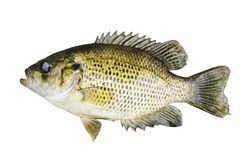 Rock Bass (Ambloplites Rupstris) isolated over a white backgroun Stock Photography