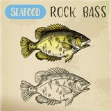 Rock bass or goggle-eye perch sketch. Fish sketch. Rock bass or goggle-eye, red perch for signboard. Hand drawn underwater animal for sport fishing trophy or Stock Photo