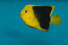Rock Beauty Angelfish in Aquarium Royalty Free Stock Images