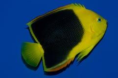 Rock Beauty Angelfish Royalty Free Stock Image